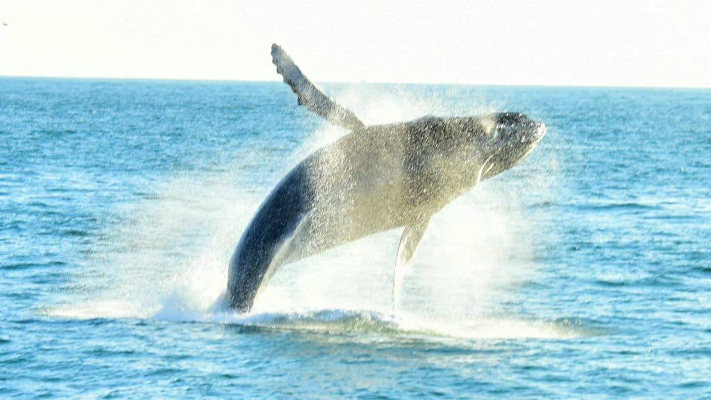 Humpback Whale breaching in Manuel Antonio National Park